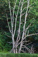 """A dead Oak Tree in the tidal area of Elgin Heritage Park in Surrey, British Columbia, Canada. These dead trees make a great """"wildlife tree"""" for various species that will inhabit it."""