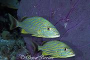 bluestripe grunts, <br /> Haemulon sciurus, <br /> Bahamas (Atlantic)