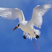 Red-tailed Tropicbird over Midway Island, Hawaii.