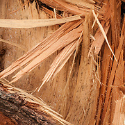 The splilntered trunk of a recently fallen white pine