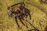 Tarantula in the Columbian rainforest