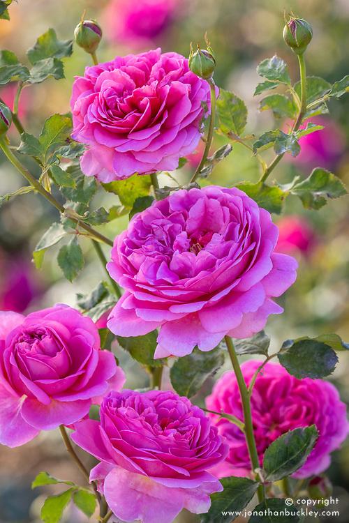 Rosa 'Princess Alexandra of Kent' syn. Ausmerchant