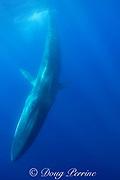 fin whale, finback whale, razorback, or common rorqual, Balaenoptera physalus, diving, Pelagos Sanctuary for Mediterranean Marine Mammals, Ligurian Sea, Mediterranean Sea, Italy