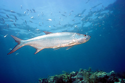 tarpon, Megalops atlanticus, Looe Key, Florida Keys National Marine Sanctuary, Florida, Atlantic Ocean