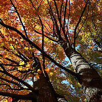 """""""Beneath Autumn's Splendor""""<br /> <br /> Ah, the glory and splendor of a beautiful autumn day. Wonderful old Maple trees in varying shades of yellows, reds,oranges, and greens. Reaching towards the clear blue sky at a lovely angle!!<br /> <br /> Fall Foliage by Rachel Cohen"""