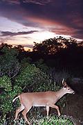 Key deer ( endangered subspecies) at sunset, Odocoileus virginianus clavium, Big Pine Key, Florida Keys, Florida, USA