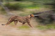 A motion-blur of a cheetah walking (Acinonyx jubatus),  Ndutu, Ngorongoro Conservation Area, Tanzania, Africa