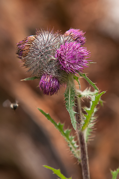 Also known as the edible thistle, his Pacific Northwest member of the aster family is found in alpine and subalpine forested mountains. The peeled stems can be eaten, and the flowers and seeds are a common food source for butterflies, bees, and birds. This one was found just below the top of Hurricane Ridge in the Olympic Mountains of Washington.