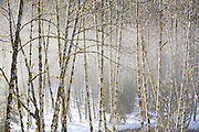 Red alder (Alnus rubra) trees in the mist along Goodell Creek, North Cascades National Park, Washington.