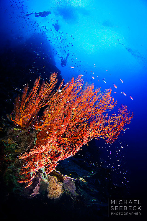 An underwater photograph of a beautiful gorgonian fan at depth, taken on a dive site called Perpendicular Wall.<br /> <br /> Limited Edition print