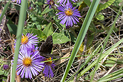 Wild Indigo Duskywing<br /> Erynnis baptisiae is one of the trickiest Duskywings to identify. This species and the Columbine Duskywing are probably indistinguishable in the field, except when in association with their host plants. The host plant of the Columbine Duskywing is Wild Columbine.