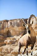Male Nubian Ibex (Capra ibex nubiana), standing on edge of the Ramon crater, Negev Desert, Israel
