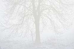 Snow, tree and mist, near Stoughton, Leicestershire, England, UK.