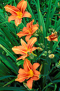 Orange Tiger Lily (Lilium columbianum), Bridal Veil State Park, Columbia River Gorge National Scenic Area, Oregon