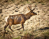 Lone Elk. Rocky Mountain National Park. Image taken with a Nikon D2xs camera and 70-200 mm f/2.8 lens and TC-E 1.4 teleconverter (ISO 100, 280 mm, f/4, 1/320 sec).