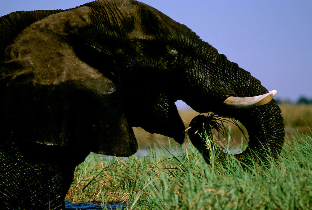 An elephant uses its trunk to search for grasses to eat.
