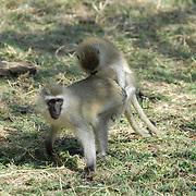Couple of copulating long-tailed monkeys.