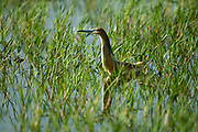 squacco heron (Ardeola ralloides). This small heron mainly feeds on insects, but also takes birds, fish and frogs. It is found in southern Europe, West Asia and southern Africa. Photographed in Israel in June