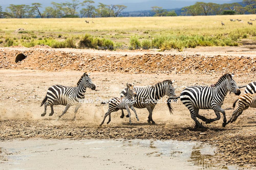 Zebras in the watering hole mud, Serengeti National Park, Tanzania