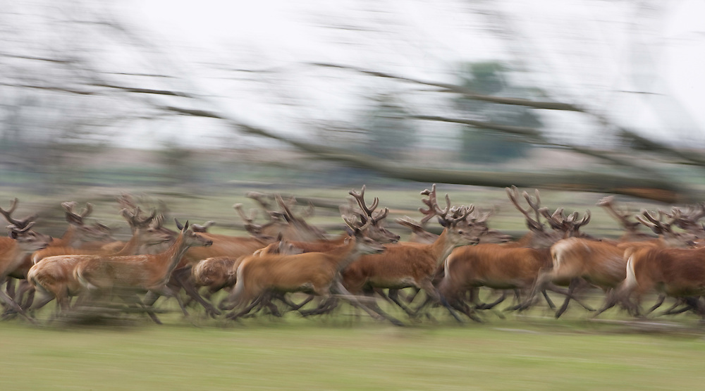 Red deer stags (Cervus elaphus) on the move. Oostvaardersplassen, Netherlands. June. Mission: Oostervaardersplassen, Netherlands, June 2009.