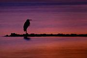 Blue Heron at Sunset on Harveys Lake, by Darren Elias