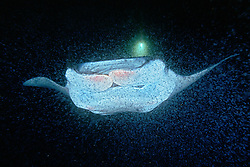 reef manta ray or coastal manta feeding on plankton at night, Manta alfredi, off Kona Coast, Big Island, Hawaii, Pacific Ocean.