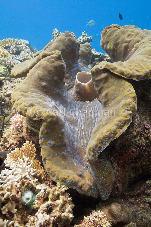 Giant clam (Tridacna gigas) - Agincourt Reef, Great Barrier Reef, Queensland, Australia. <br /> <br /> Editions:- Open Edition Print / Stock Image