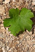 Vine leaf. Sauvignon Blanc. Domaine Henri Bourgeois, Chavignol, Sancerre, Loire, France