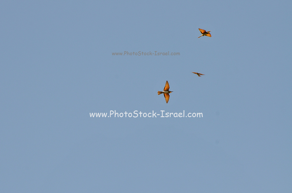 Little bee-eater (Merops pusillus) in flight with a blue sky background. This is a tiny member of the bee-eater family (family Meropidae), with a mass of only 15 grams and a length of only 18 centimetres. It is found in south-eastern Africa in bushveld, open woodland and savanna habitats. They live in pairs. Photographed in Israel in September