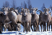 Juvenile bighorn sheep group (Ovis canadensis canadensis). Lostine Ridge, Wallowa Mountains, Oregon.