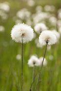 Alaska Cotton (Eriophorum Scheuchzeri) in Denali National Park in Interior Alaska. Summer. Morning.