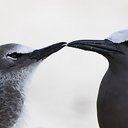 Common noddy, Anous stolidus, feeding a chick on Ile aux Coco, a small nature reserve on an islet off the coast of Rodrigues Island. The noddys breed on this tiny islet.