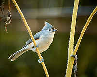 """Tufted """"Black-crested"""" Titmouse looking for sunflower seeds. Autumn Backyard Nature in New Jersey. Image taken with a Nikon 1 V3 camera and 70-300 mm VR telephoto zoom lens. (ISO 160, 300 mm, f/5.6, 1/15 sec)."""