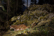 A wild Mountain Lion (Puma concolor), photographed at night in the Wind River National Forest, Washingon, part of the Gifford Pinchot National Forest. The rocks were home to pika and bushy-tailed wood-rats and it appears the lion is hunting.
