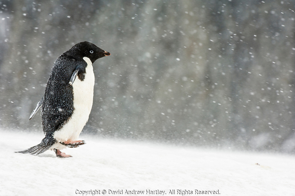 An Adelie penguin (Pygoscelis adeliae) runs through a blizzard, Brown Bluff, Tabarin Peninsula, Antarctica