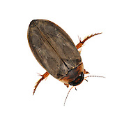 Colymbetes fuscus - Colymbetes fuscus - a water beetle, family Dytiscidae