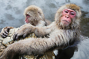 A close-up portrait of two snow monkeya (Macaca fuscata) sitting in a steamy hot spring and clinging to a rock while sleeping, Jigokudani, Yamanouchi, Japan