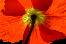 A Red Poppy as seen from the underside, against a dark background, emphasizes the delicate, transparent petals. I have this image on my living room wall and it wears very well. I planned it originally for a large space to be hung with the two other red poppy images here. Other poppy images are available.
