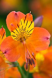Alstroemeria 'Flaming Star''