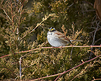 White-throated Sparrow. Image taken with a Nikon D2xs camera and 80-400 mm VR lens (ISO 100, 400 mm, f/7.6, 1/250 sec).