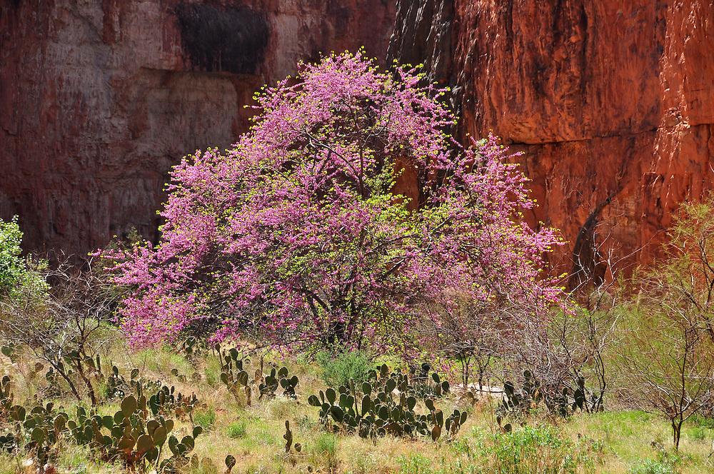 Redbud tree in bloom, Kanab Creek Wilderness, Arizona.