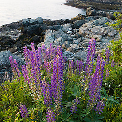 Purple Lupine on the coast at Dorr's Point in Maine's Acadia National Park.  Mount Desert Island.