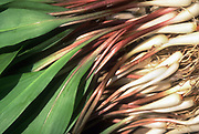 Close up selective focus photograph of a bunch of Ramps