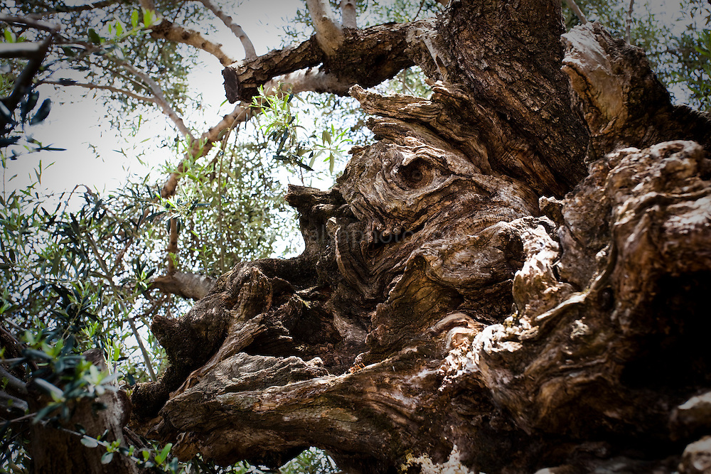 Simulacrum of the Minotaur, the bullheaded monster - son of Minos, who lived in the labyrinth. Seen on the the world's oldest olive tree, in the village of Ana Vouves, thought to be between 2000-3000 years old.  The trunk has a perimeter of 12.5 m and a diameter of 4.6 m