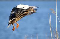 Mallard duck (Anas platyrhynchos), Cambridge, Maryland.