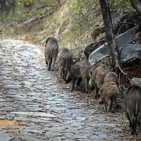 Asia, India, Ranthambore. Indian wild boar family walking on road in Ranthambore.