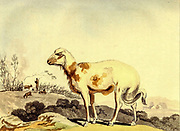 Broad Tailed Sheep of South Africa from the book Travels into the interior of southern Africa : in which are described the character and the condition of the Dutch colonists of the Cape of Good Hope, and of the several tribes of natives beyond its limits : the natural history of such subjects as occurred in the animal, mineral and vegetable kingdoms; and the geography of the southern extremity of Africa : comprehending also a topographical and statistical sketch of Cape Colony; with an inquiry into its importance as a naval and military station, as a commercial emporium; as a territorial possession By Sir John Barrow, and illustrated by Samuel Daniell Published in London in 1806