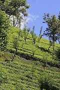 Balangoda Estate, Tea Plantation, Sri Lanka