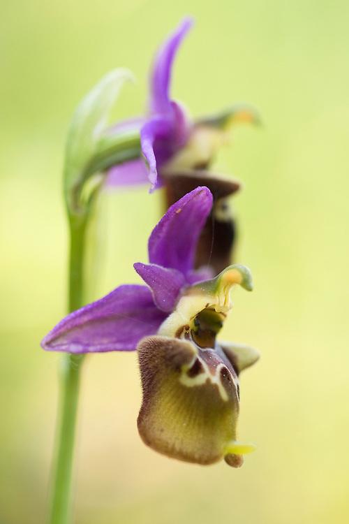 Apulia; Apulica Ophrys; Gargano Peninsula; Italy; Ophrys apulica; Vieste