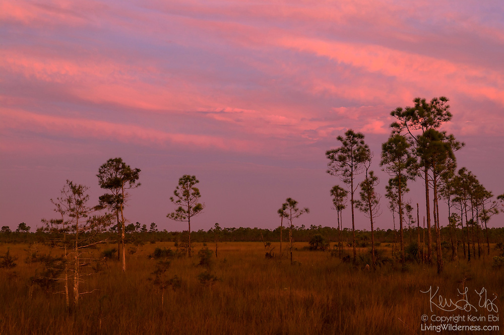 "Slash pine trees (Pinus elliotti) grow in the ""river of grass"" that makes up the Florida Everglades. Pine trees, which need to stay relatively dry, grow at the highest points of the Everglades – only a foot or two higher than the lowest point."